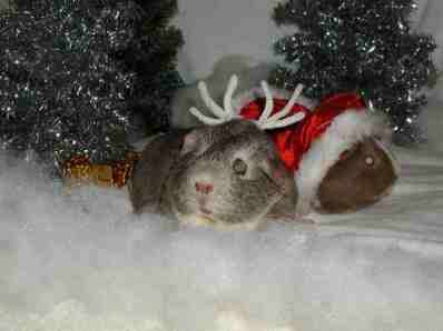 Christmas secret of the Guinea Elves.
